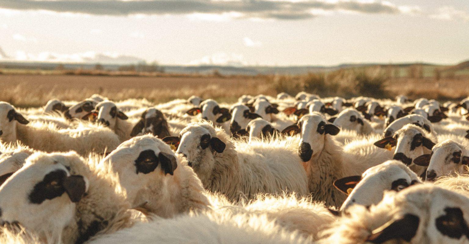 Pastor rebaño campos de castilla ovejas